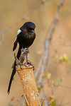 Magpie Shrike (Urolestes melanoleucus), Greater Makalali Private Game Reserve, South Africa