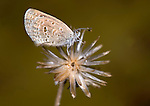 Tiny Grass Blue Butterfly, Zizula hylax, Bandhavgarh National Park, on seed head.India....