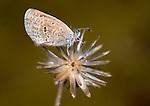 Tiny Grass Blue Butterfly, Zizula hylax, Bandhavgarh National Park, on seed head.India....
