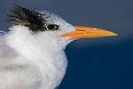 USA, FL, Naples, Royal Tern (Sterna maxima)