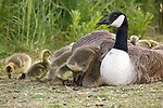 """These photographs show the adorable moment dozens of little goslings try to clamber under the wings of a female goose as they try to settle down for the evening. <br /> <br /> The incredible pictures were taken by NHS admin worker Nicola Miller at Canvey Lake on Canvey Island, Essex. <br /> <br /> Nicola, 48, from Benfleet, Essex said, """"There were around 25 goslings trying to shelter under her wing as they were settling in for the night.   As these geese lay between 2 and 9 eggs they won't all belong to her but I've been informed that geese run a creche or can adopt goslings of similar age.""""<br /> <br /> Please byline: Nicola Miller/Solent News<br /> <br /> © Nicola Miller/Solent News & Photo Agency<br /> UK +44 (0) 2380 458800"""