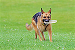 German Shepherd Playing Frisbee
