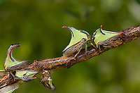 393950006 wild thorn treehoppers umbonia crassicornis on  small tree limb in the rio grande valley of south texas