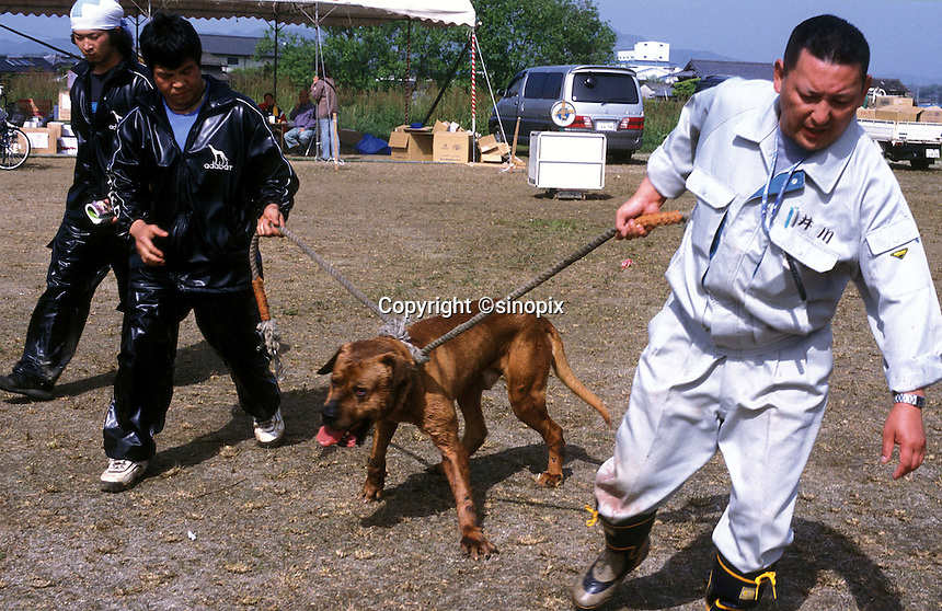 More than one person is often needed to handle the powerful dogs before the dog fight in Nagasaki, Japan. Typically two custom made leashes are needed to handle each animal..