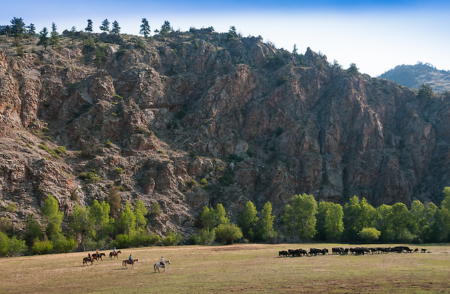 round-up and branding day at Opal Land and Cattle Ranch, Larimer County, Drake, Colorado, USA