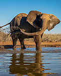 African bush elephant (Loxodonta africana) at waterhole, Central District, Botswana<br />