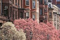 Magnolias, Commonwealth Avenue, Boston, MA