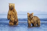 Paula and her cub, Racer, at Hallo Bay. Kodiak grizzly bears (Ursus arctos middendorffi)