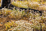 Small white flowers bloom amidst a charred tree from a previous wildfire at Hart's Pass in Washington State.