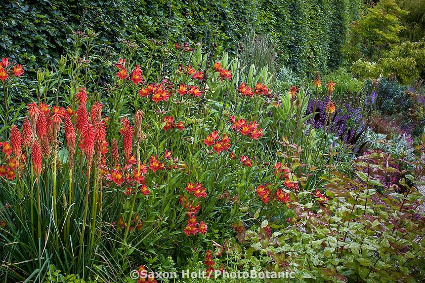 hot color perennial garden border with Peruvian lily, Alstroemeria 'Princess Victoria', Kniphofia, Hypericum; Digging Dog Nursery
