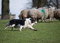 Sheepdog with Mule sheep.