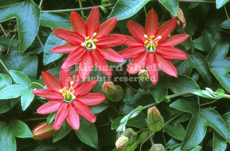 13599-CM Crimson Passionflower, tropical vine, Passiflora vitifolia, three flowers in July, at Cambria, CA USA.