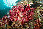 Indonesia, Lembeh, Red Dendronephthya soft coral, underwater marine life