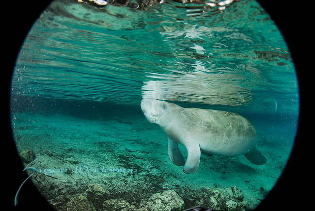 Manatee in the Round