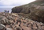 rockhopper penguins on New Island