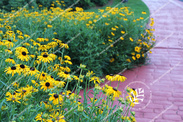 Stock photo: Black eyed Susan flower plants grown in plenty by a paved path in Georgia USA.