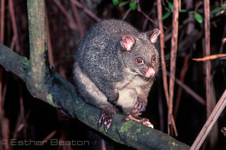 Bobuck or Mountain Brushtail Possum (Trichosurus cunninghamii) possibly with pouch young. Central Highlands, Victoria.