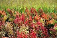 Perennial glasswort, Salicornia perennis, Cape Cod, MA, USA