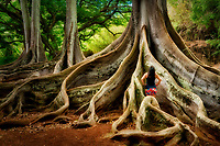 Morton Bay Fig Trees.  Alerton Gardens. In jurassic Park film