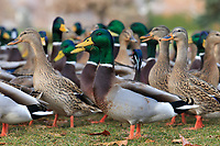 Mallards (Anas platyrhynchos) feeding in a city park. Washington.