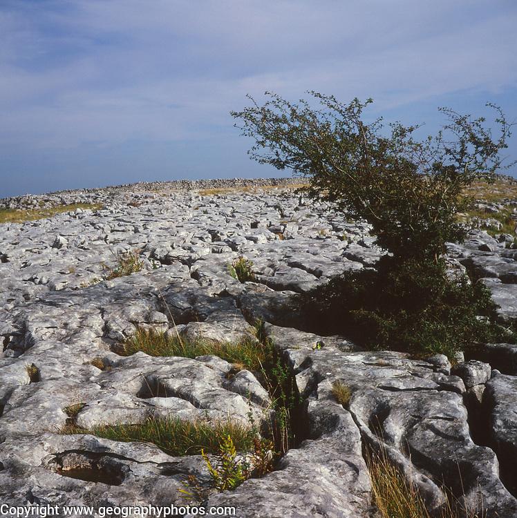 AJEM71 Limestone pavement and tree Yorkshire Dales national park England