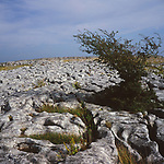 AJEM71 Limestone pavement and tree Yorkshire Dales national park England
