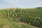 Minnesota agriculture: corn and soybeans are the two main crops of Southern Minnesota.  Shown here growing together..Photo mnqual324-74824..Photo copyright Lee Foster, www.fostertravel.com, 510-549-2202, lee@fostertravel.com.