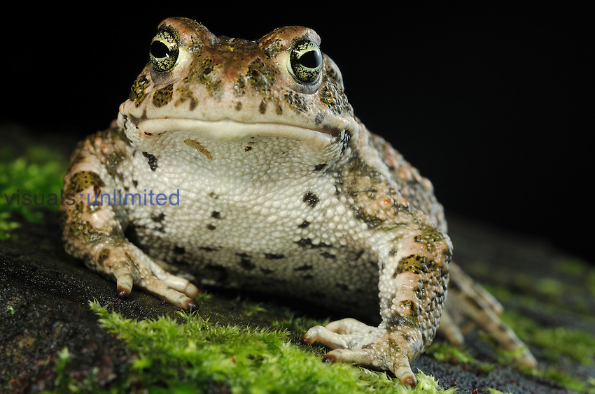 The Natterjack Toad (Epidalea calamita, formerly Bufo calamita) is native to sandy and heathland areas of Northern Europe.