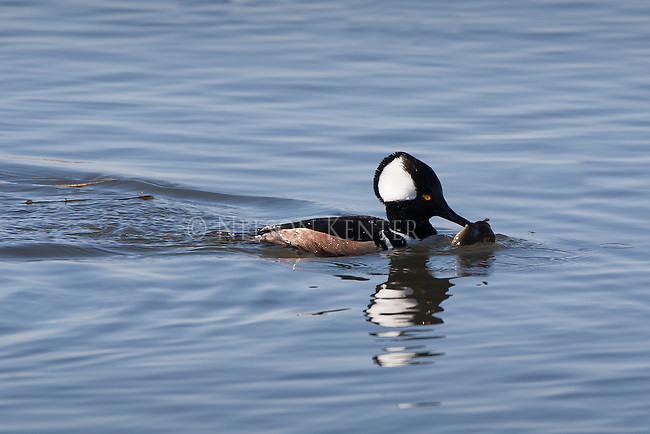 merganser drake with a fish that he just caught while diving in a pond in the lee metcalf wildlife refuge in montana