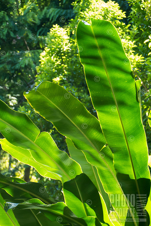 Dappled green heliconia leaves at Hawaii Tropical Botanical Garden near Onomea Bay in Papa'ikou near Hilo, Big Island of Hawai'i.