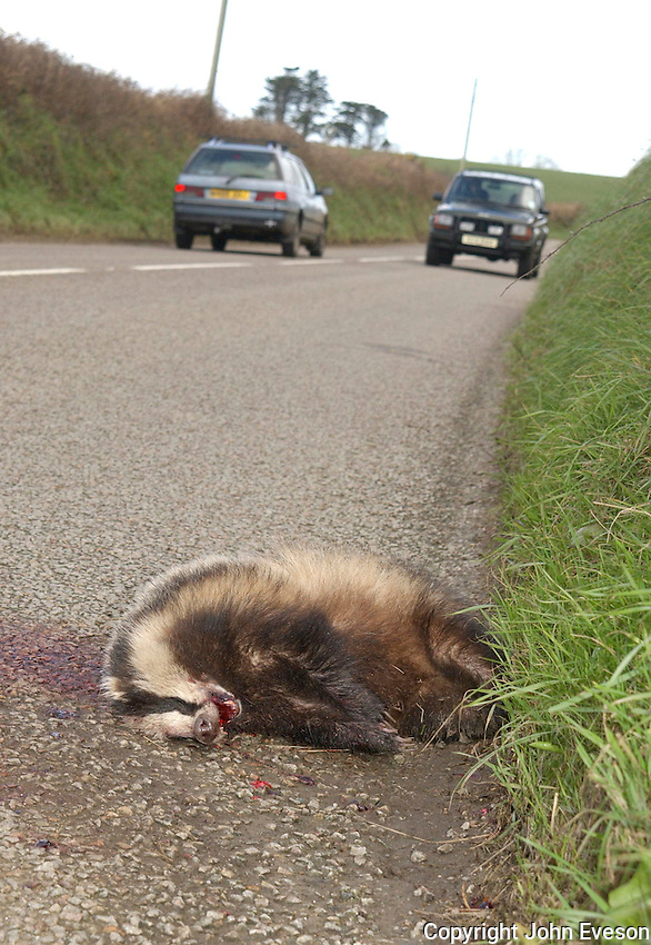 Dead badger at the side of a road, Cornwall.