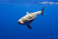 pygmy killer whale, Feressa attenuata, off Kona Coast, Big Island, Hawaii, Pacific Ocean..