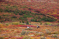 Two bull caribou run across the colorful autumn tundra in Denali National Park.