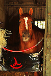 August 17, 2014:  Two-time Horse of the Year, Wise Dan in the backstrech barns at Saratoga Racetrack. Sue Kawczynski/ESW/CSM