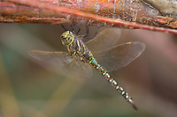 339360026 a wild andromorph female blue-eyed darner dragonfly rhionaeschna multicolorperches on a tree limb in lake havasu national wildlife refuge arizona