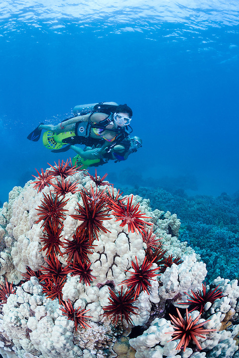 Two female divers (MR) on underwater scooters cruise over a coral head, peppered with slate pencil sea urchins off Maui, Hawaii.