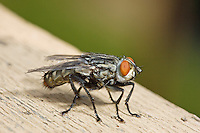 Flesh Fly, Sarcophaga sp.; Backyard; Philadelphia, PA