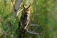 Adult Long-eared Owl (Asio otus) roosting in salt cedar (Tamarix spp.). Monterey County, California. October.