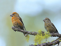 Red crossbill male in transition plumage perched on a snag with one of his young juveniles after it some cone seeds.<br /> Sleeping Lady Resort, Leavenworth, Washington<br /> 6/7/2010