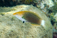 Axilspot Wrasse, Halichoeres podostigma, Tanjung Gedong dive site, off Flores Island, Indonesia, Indian Ocean