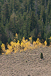 Quaking aspen (Populs tremuloides) in the fall, Toiyabe National Forest, California
