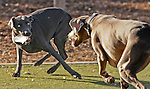 """pvc123110a/12-31-10/asec.  Half brother and sister weimaraners Kala (CQ), left, and Bohi (CQ), right, owned by Dal Averill (CQ, unusual spelling), not pictured, of Albuquerque, play keep away with a chunk of ice at the Rio Grande dog park in downtown Albuquerque Friday Dec. 31, 2010.  Dal said """"For some reason, they really like ice.""""  According to the National Weather Service, Albuquerque had a low temperature at 8AM of 12.9 degrees farenheit.  (Pat Vasquez-Cunningham/Journal)"""