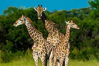 Botswana-Wildlife-Giraffes