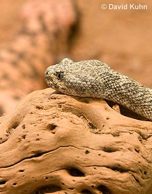 0517-1101  Speckled Rattlesnake (Mitchell's Rattlesnake or White Rattlesnake), Southwestern United States, Crotalus mitchellii  © David Kuhn/Dwight Kuhn Photography