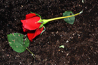 FACATATIVA -COLOMBIA. 29-01-2014. Llega febrero y los floricultores colombianos tienen la gran oportunidad de iniciar el año con el pie derecho gracias al día de San Valentín que es por excelencia el día de los enamorados en Estados Unidos y Europa. Por estos días en Elite Flowers en la Sabana de Bogotá trabajan a todo marcha para surtir el mercado, para este año en el cual esperan incrementar sus ventas en 12% respecto al año anterior. February is coming and colombian growers have a big opportunity to start this year so well thanks to the quintessential St. Valentine's day in USA and Europe. For these days in Elite Flowers in the Sabana of Bogota flowers plantations are working full time to fill the market for this year and increase their sales by 12% compared to last year. Photo: VizzorImage/Gabriel Aponte/ Staff