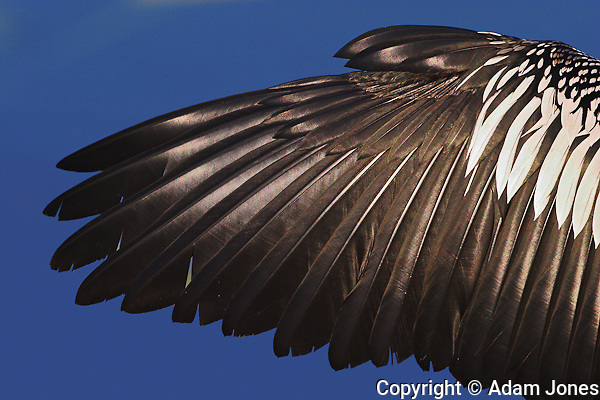 Anhinga wing.Anhinga anhinga.Everglades National Park, Florida