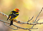 Western Tanager (Piranga ludoviciana), male, Mono Lake Basin, California, USA