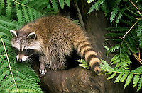 MA25-222z  Raccoon - young raccoon exploring - Procyon lotor