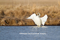 00758-01202 Trumpeter Swan (Cygnus buccinator) flapping wings in wetland, Marion Co., IL