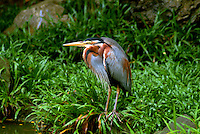The Purple Heron (Ardea purpurea) is a wading bird in the heron family Ardeidae, breeding in Africa, central and southern Europe, and southern and eastern Asia.